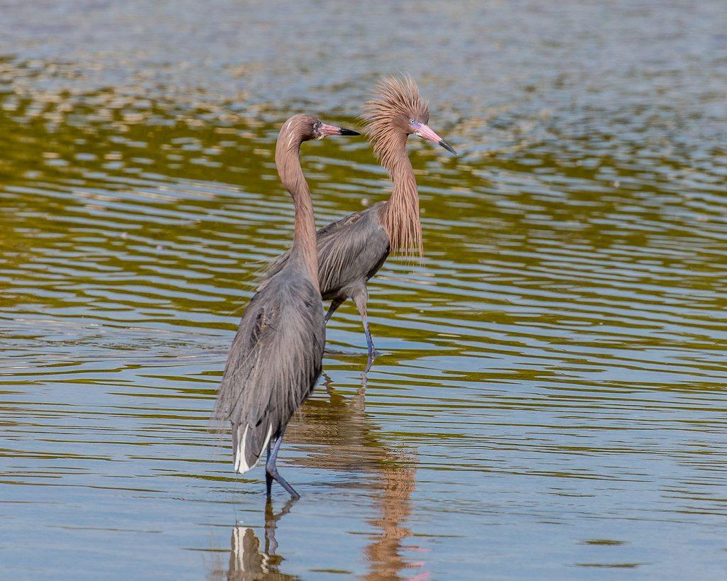 Reddish Egret || TriPower Vacation Rentals in Fort Myers Beach FL