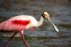 Roseate Spoonbill || TriPower Vacation Rentals in Fort Myers Beach FL