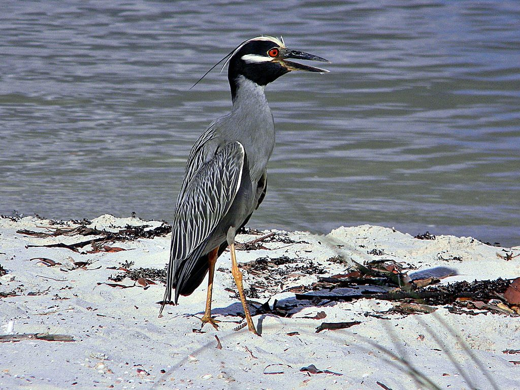 Yellow-Crooned Night-Heron   || TriPower Vacation Rentals in Fort Myers Beach FL